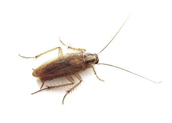Kalorifer böceği ilaçlama