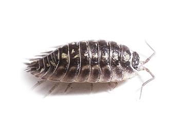 Tesbih böceği ilaçlama